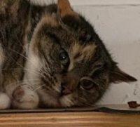 Shiva, ein gebrochenes Katzenherz heilt